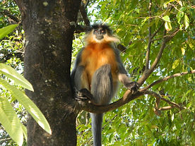 Golden Langur at Manas National Park - India wildlife tours by Jungle Travels India