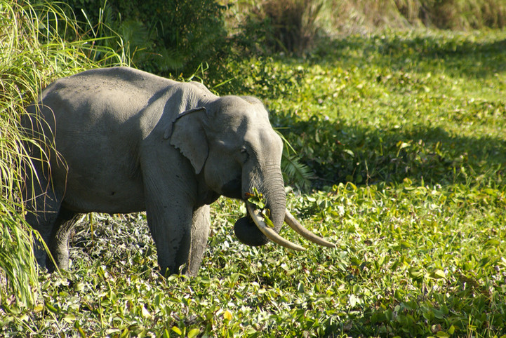 Asian Elephant in Manas National Park