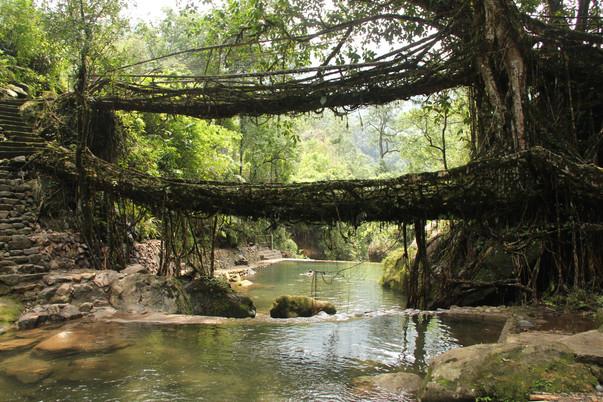 Living root double decker bridge_Arshiya