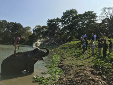 Elephant bathing at Diphlu River Lodge