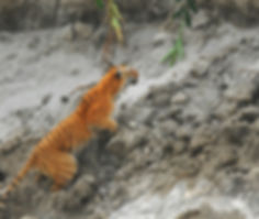 Royal Bengal Tiger at Kaziranga National Park - India wildlife tours by Jungle Travels India