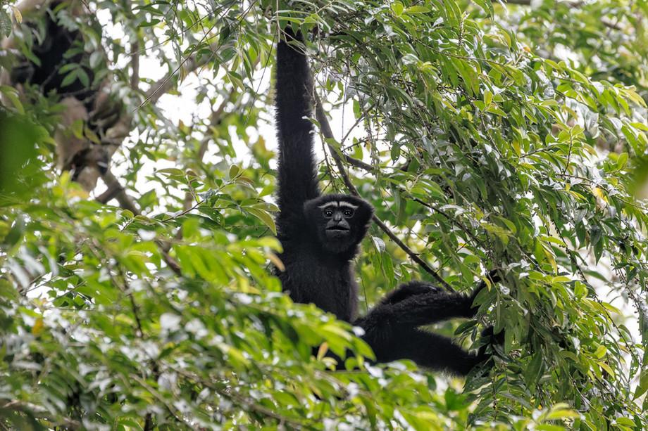 Hoolock Gibbon - Hoollongapar Gibbon Sanctuary