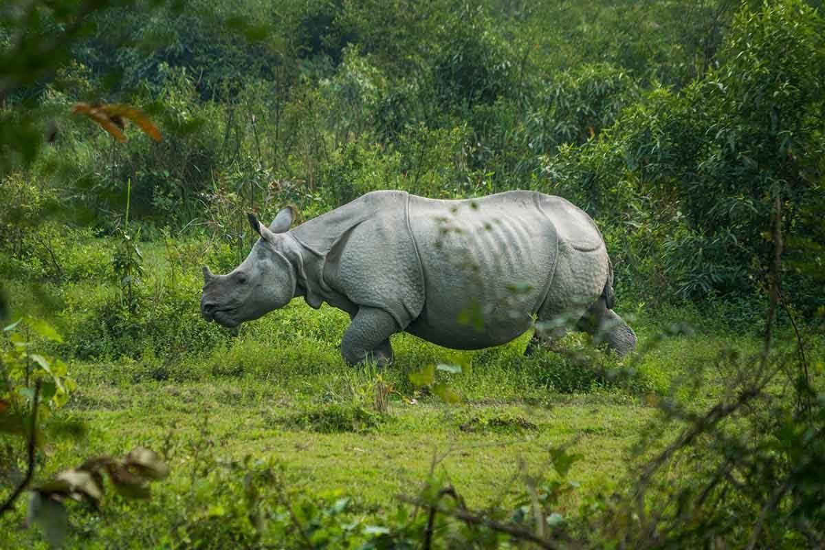 Rhino in Kaziranga_rsized.jpg