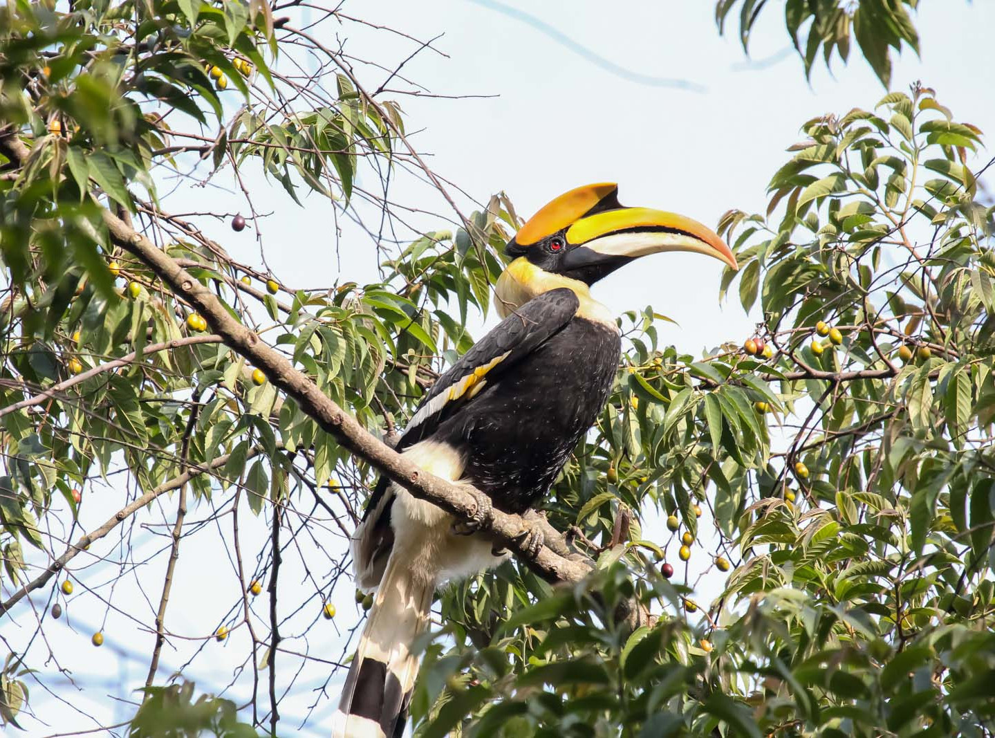 Great_Indian_Hornbill.jpg