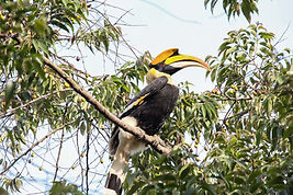Hornbill birding tour in Northeast India by Jungle Travels India