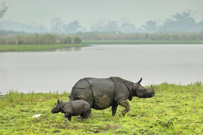 Rhinos at Kaziranga NP.jpg