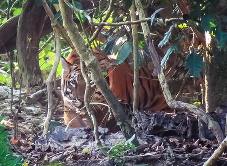 Tiger, tiger burning bright: Sightings at Kaziranga by Assam Bengal Navigation guests