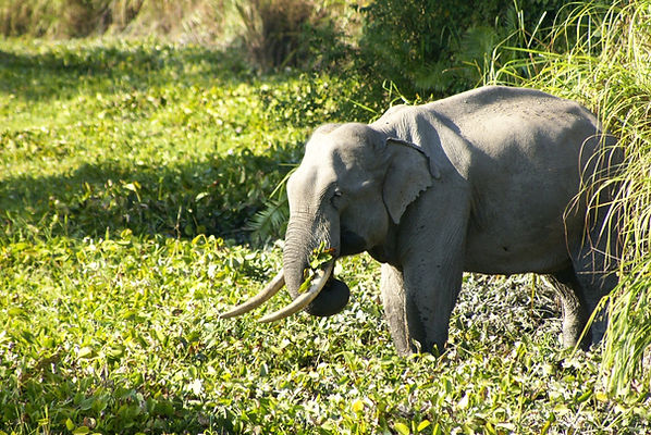 Elephant at Kaziranga National Park - India wildlife tours by Jungle Travels India