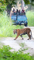 A Royal Bengal Tiger while on jeep safari in Kaziranga