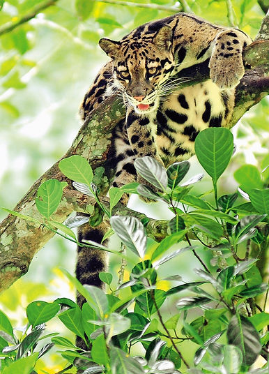 Clouded leopard at Namdapha National Park - India wildlife tours by Jungle Travels India