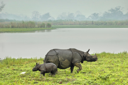 One-horned Indian Rhinoceros with calf