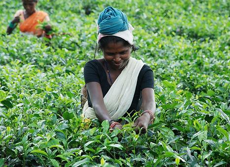 tea garden - visit assam