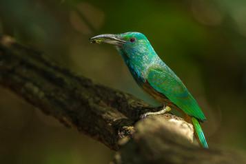 Blue-bearded Bee-eater - Nameri National Park