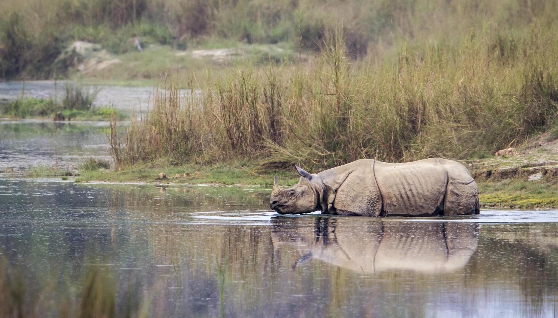 Rhino bathing