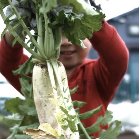 大根収穫祭