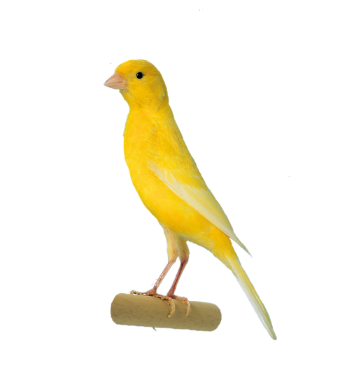 Irish Fancy Canary