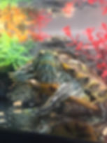 Therapy Turtle.jpg