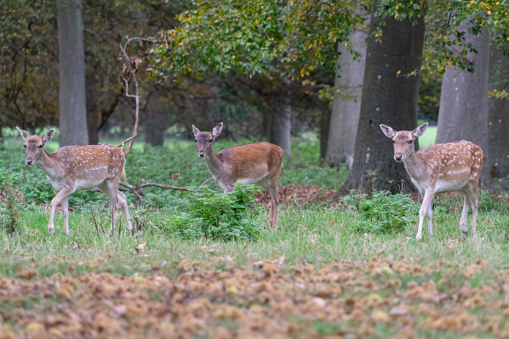Fallow Deer | Holkham Hall | Norfolk Photographer | Gemerations Photography