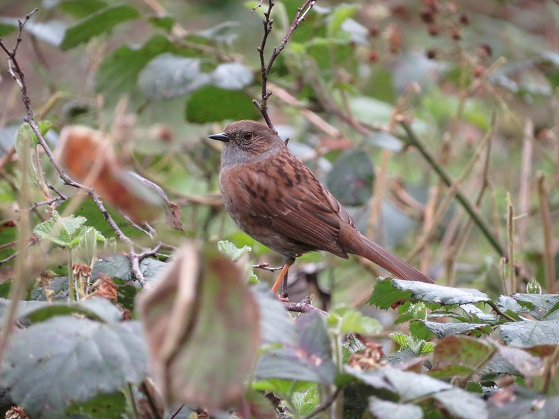 Dunnock | Bird | Wildlife Photography | Gemerations Photography | Norfolk Photographer