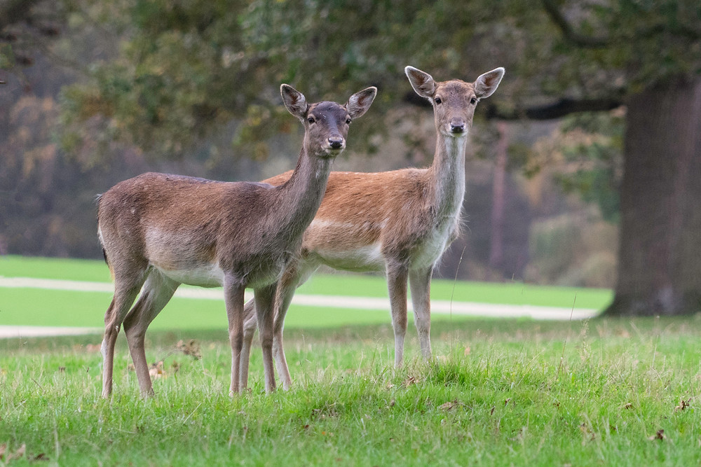Deer Herd Holkham Hall | Norfolk Photographer | Gemerations Photography