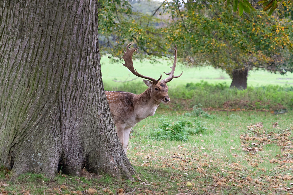 Stag | Fallow Deer | Holkham Hall Estate | Norfolk Photographer | Gemerations Photography