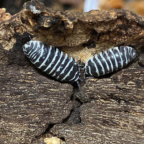 A. maculatum Zebra