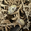 Thumbnail: A. vulgare - orange dalmatian