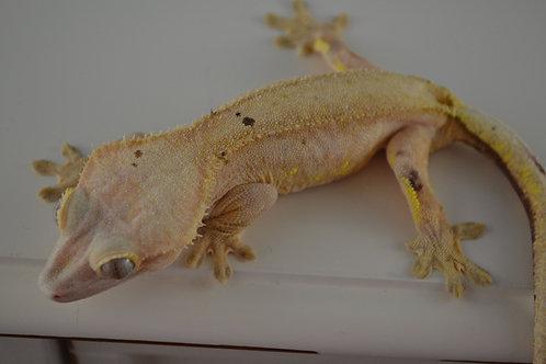 Julius - Proven Female