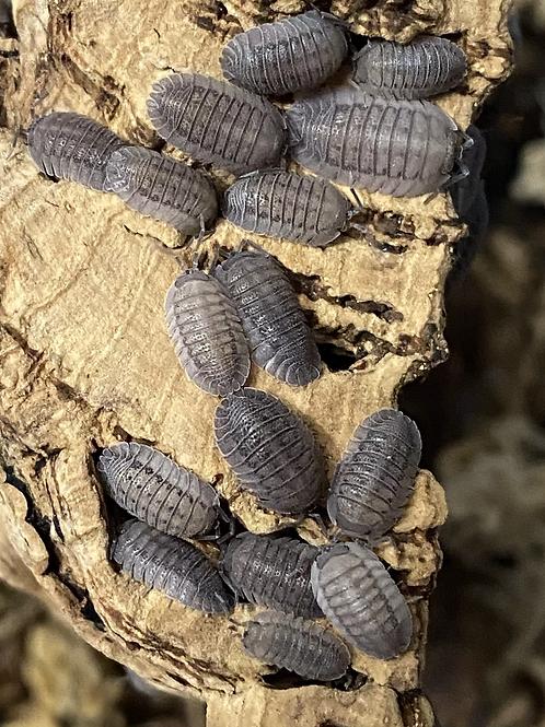A. peraccae