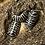 Thumbnail: A. maculatum (Zebra Mix)