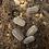 Thumbnail: A. peraccae