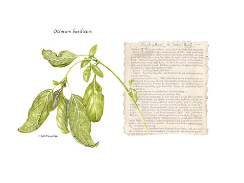 Original: Basil from the Culpeper Collection
