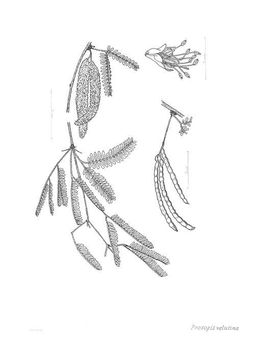 Original: Velvet Mesquite