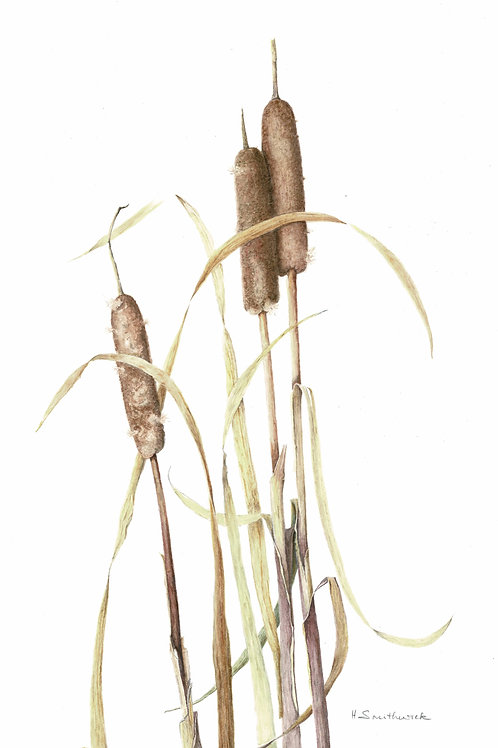 Note Card: Cattails