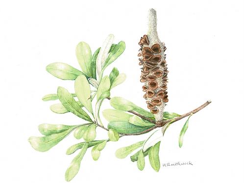 Original: Banksia
