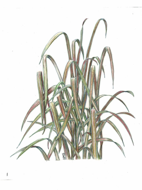 Note Card: Pennisetum Princess