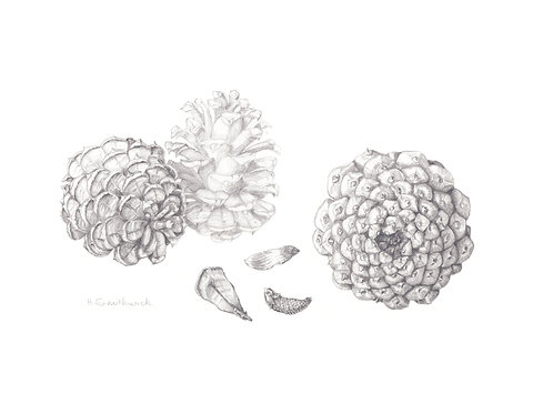 Original: Ponderosa pinecones