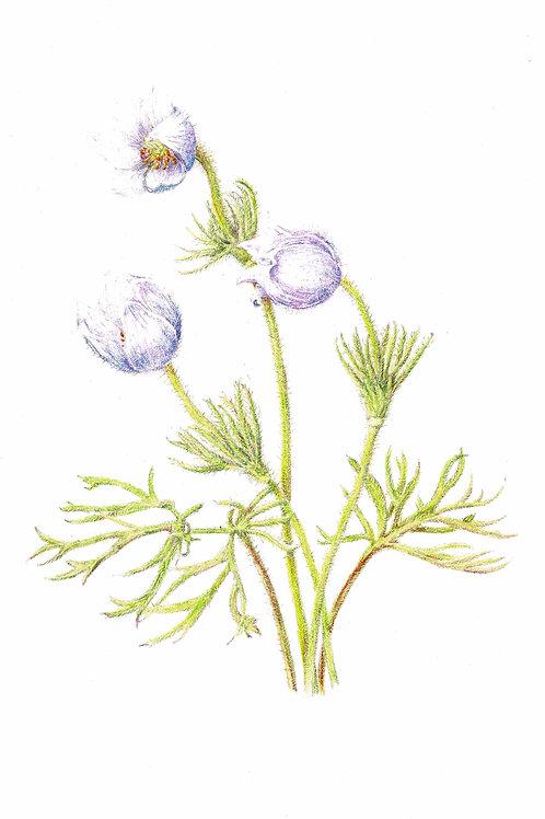 Original: Pasque Flower