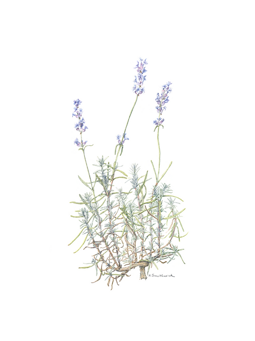 Note Card: Lavender