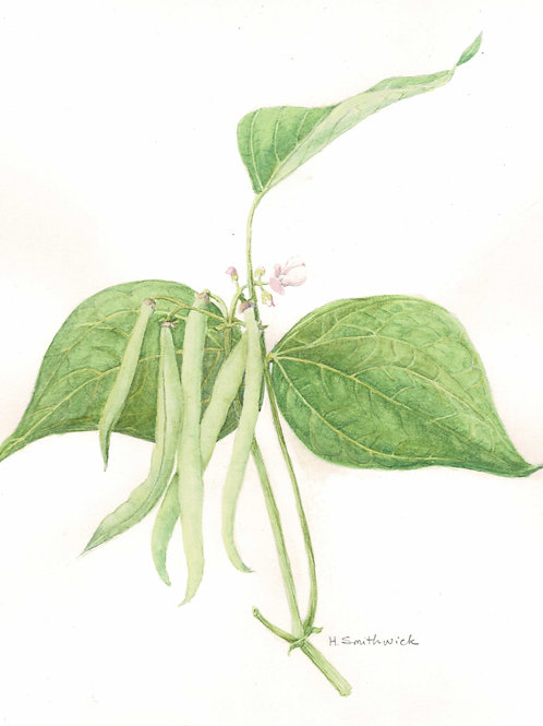 Green Beans on the Vine