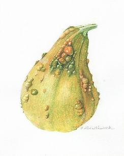 Warty Gourd