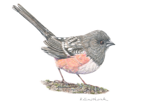 Note Card: Towhee