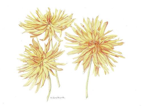 Note Card: Cactus Dahlias