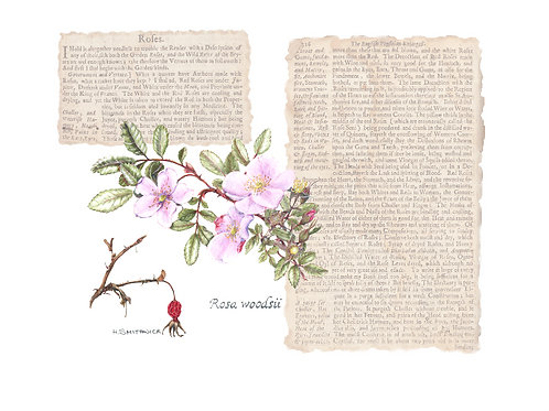 Note Card: Wild Rose