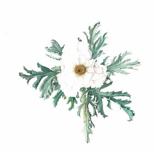 Note Card: Prickly Poppy