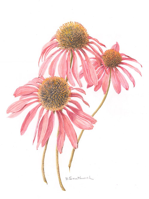 Note Card: Coneflower