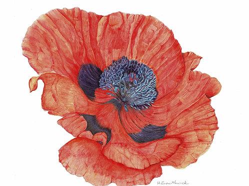 Original: Big Red Ornamental Poppy