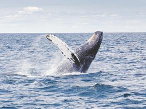 ハワイ島はクジラの季節もそろそろ一番見える時期