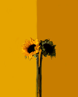 Sunflower Edit 1.jpg