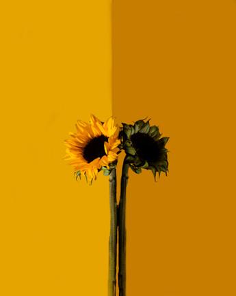 Sunflower Edit 1.jpg